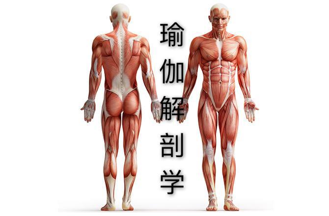 瑜伽解剖学